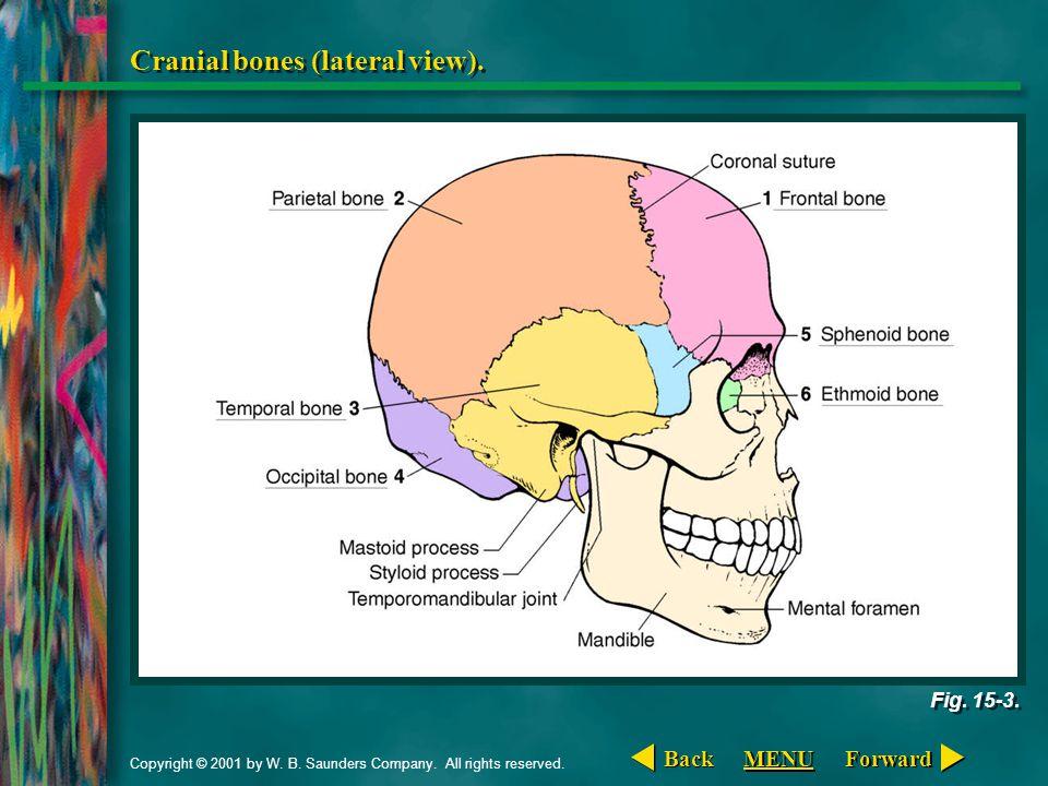 Cranial bones (lateral view).