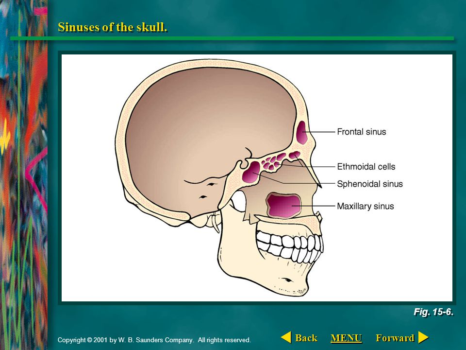 Sinuses of the skull. Back MENU Forward Fig. 15-6.