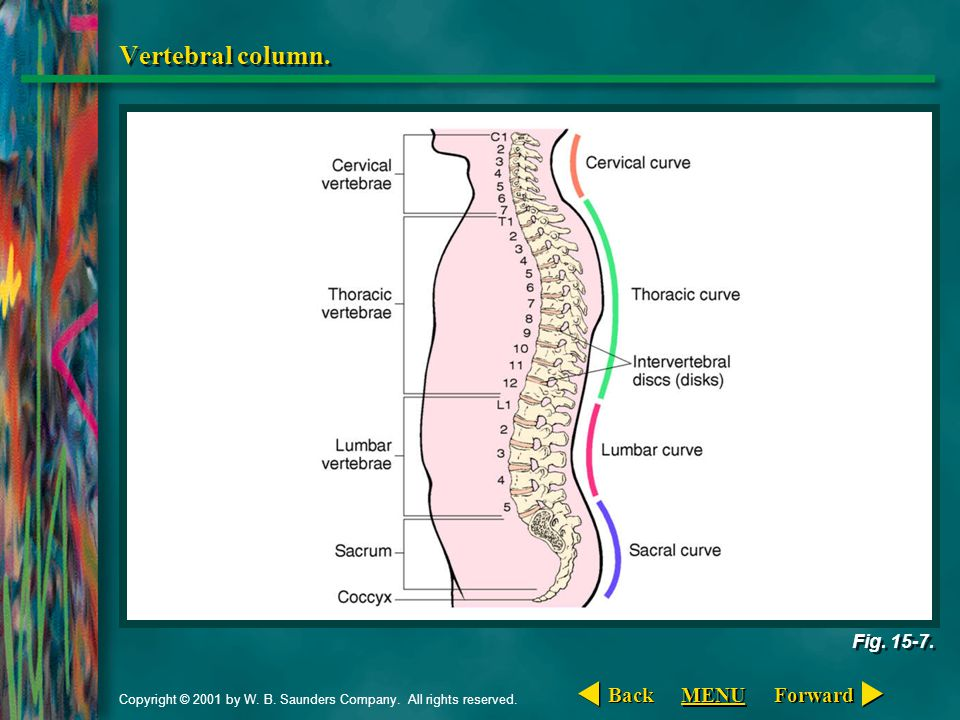 Vertebral column. Back MENU Forward Fig. 15-7.