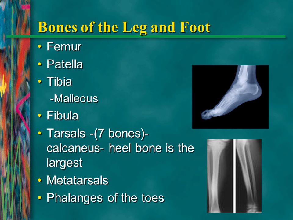 Bones of the Leg and Foot