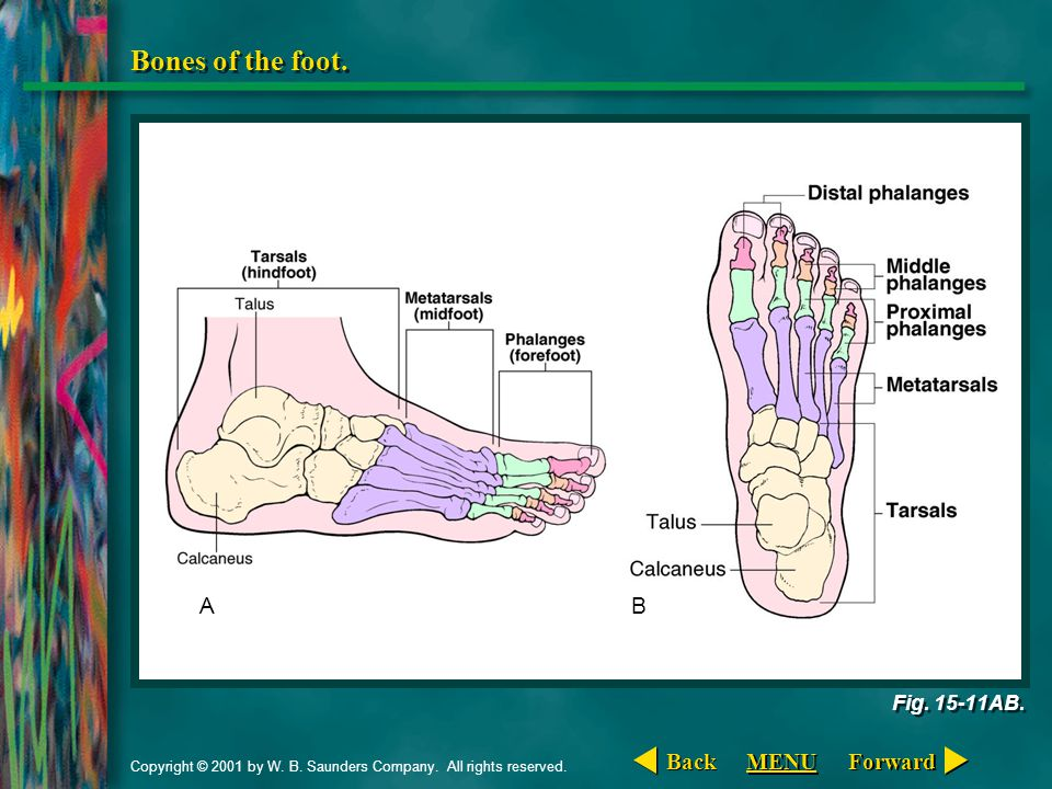 Bones of the foot. A B Back MENU Forward Fig. 15-11AB.