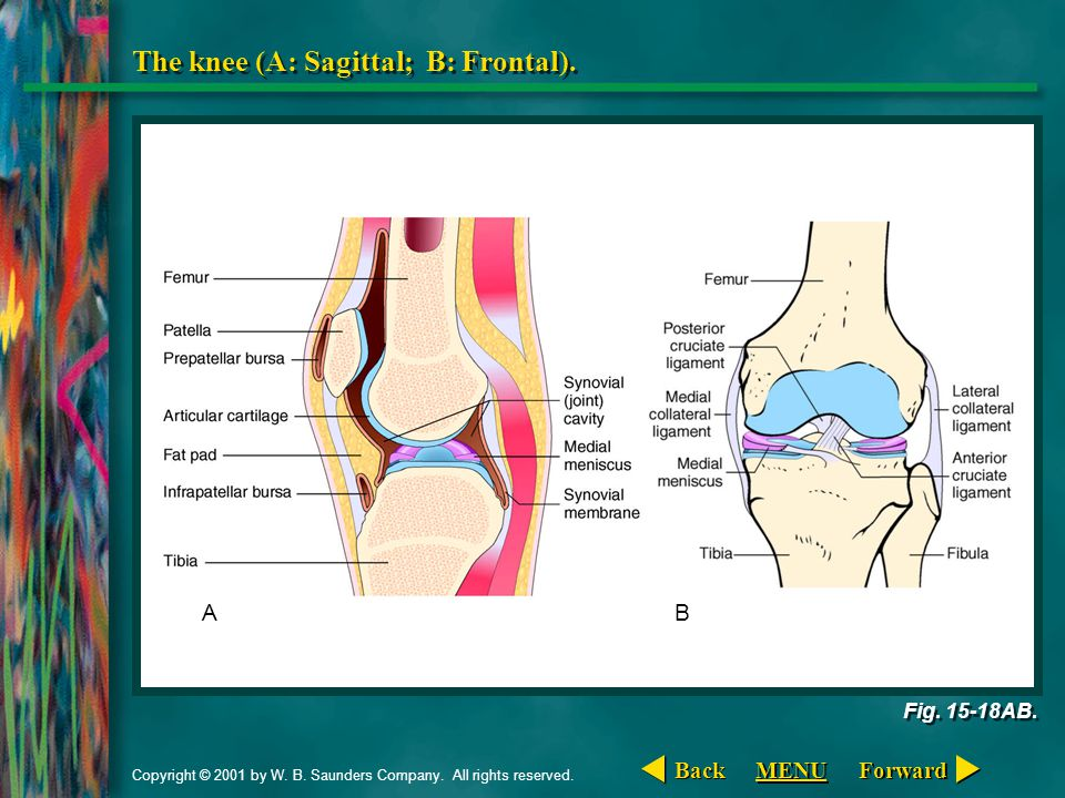 The knee (A: Sagittal; B: Frontal).