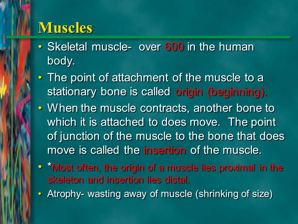 Muscles Skeletal muscle- over 600 in the human body.