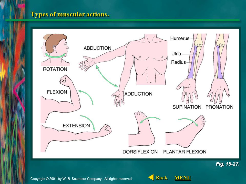 Types of muscular actions.