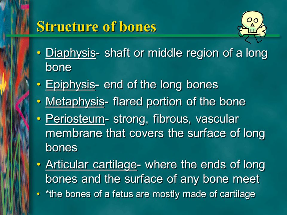 Structure of bones Diaphysis- shaft or middle region of a long bone
