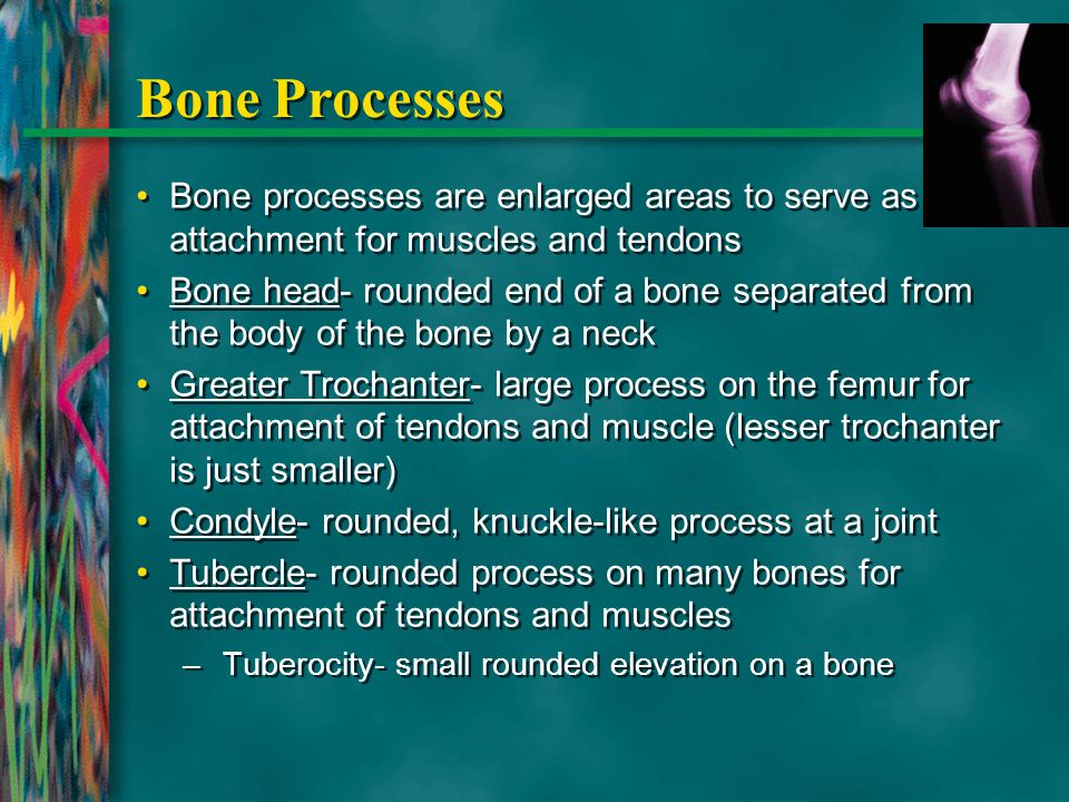Bone Processes Bone processes are enlarged areas to serve as attachment for muscles and tendons.