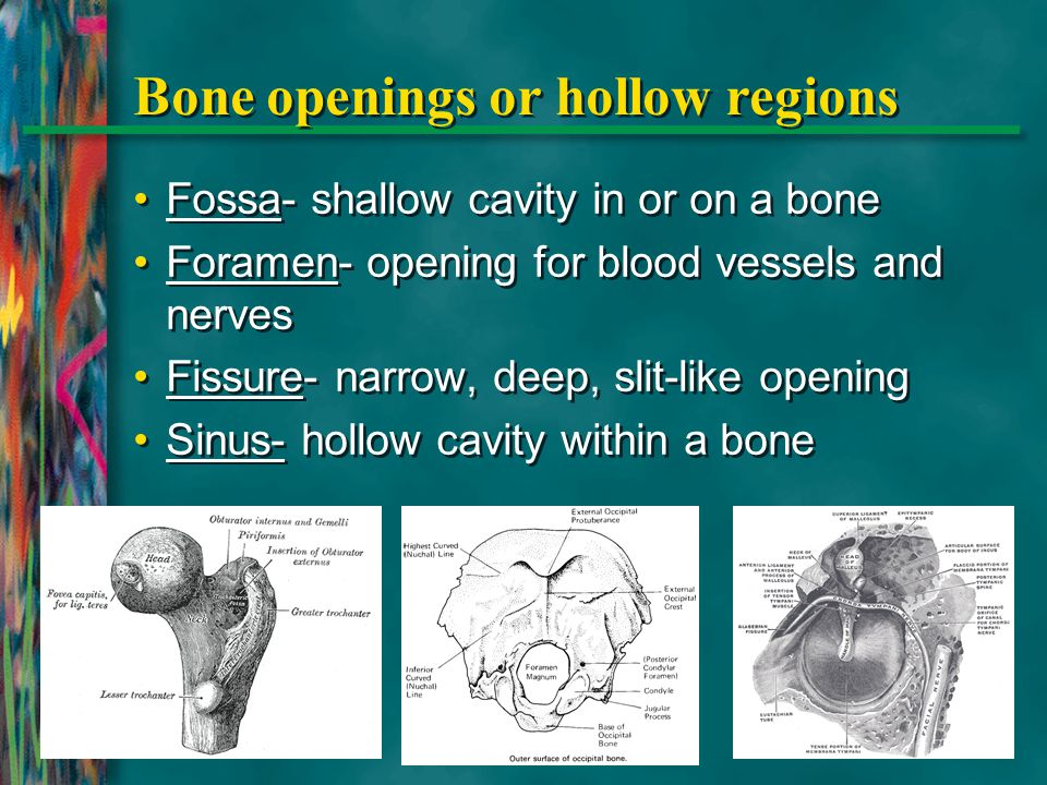 Bone openings or hollow regions