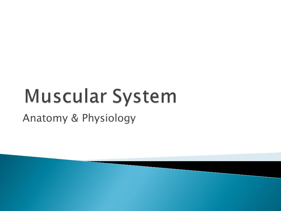 Muscular System Anatomy & Physiology