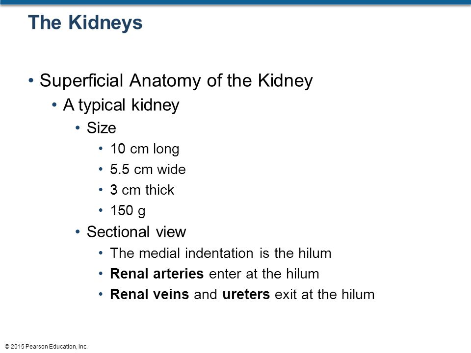 The Kidneys Superficial Anatomy of the Kidney A typical kidney Size