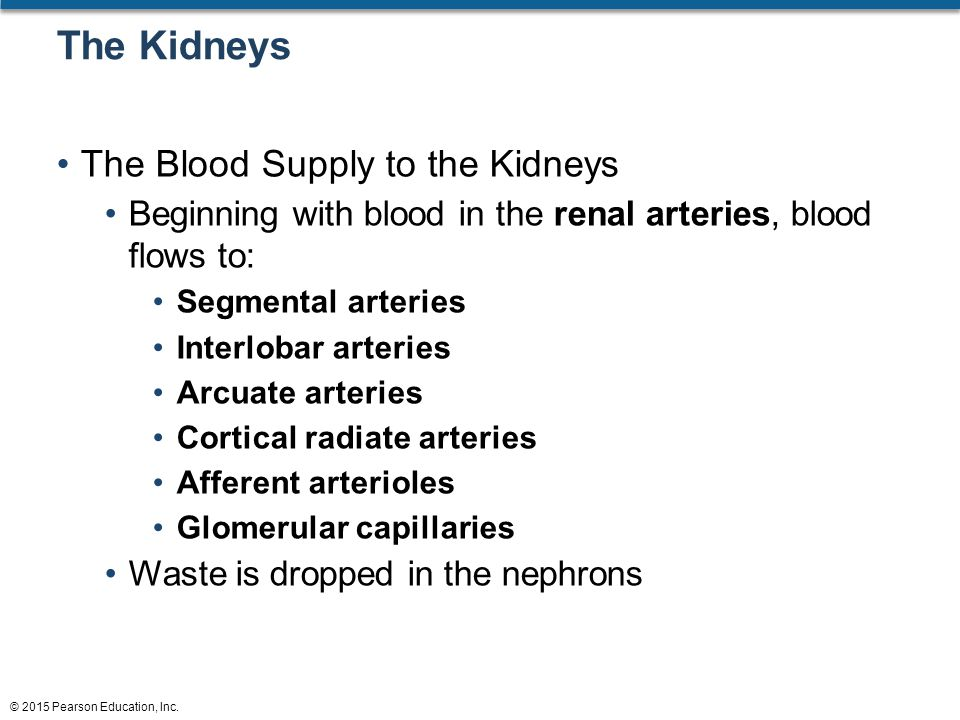 The Kidneys The Blood Supply to the Kidneys