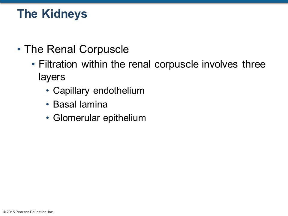 The Kidneys The Renal Corpuscle