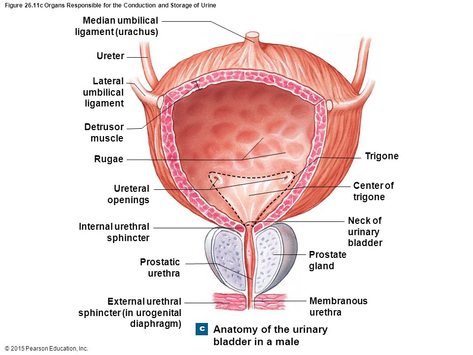 Anatomy of the urinary bladder in a male