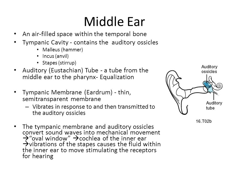 Middle Ear An air-filled space within the temporal bone