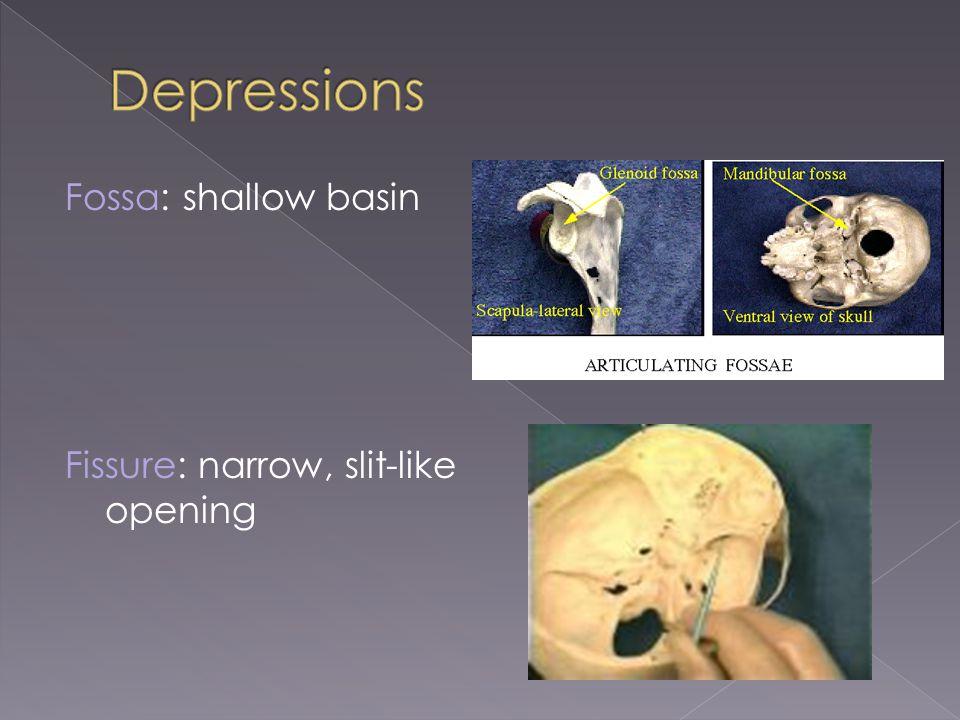Depressions Fossa: shallow basin Fissure: narrow, slit-like opening
