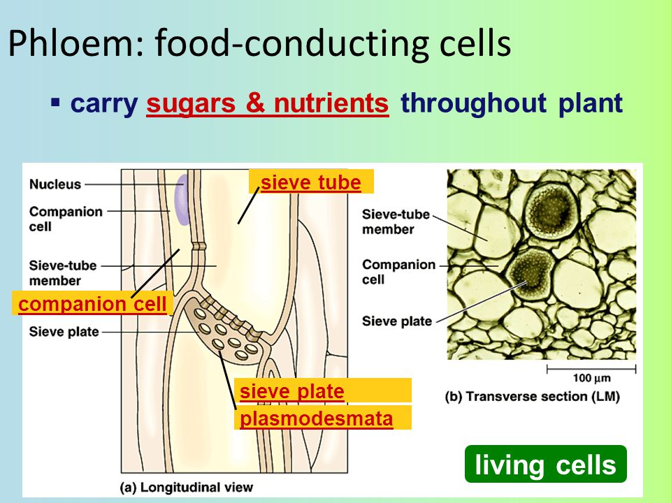 Phloem: food-conducting cells