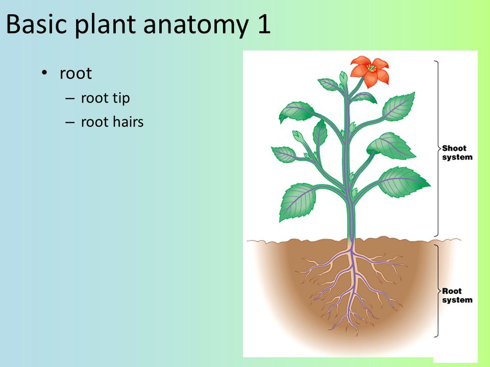 Basic plant anatomy 1 root root tip root hairs