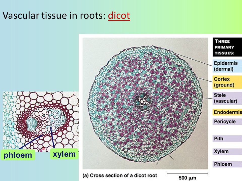 Vascular tissue in roots: dicot