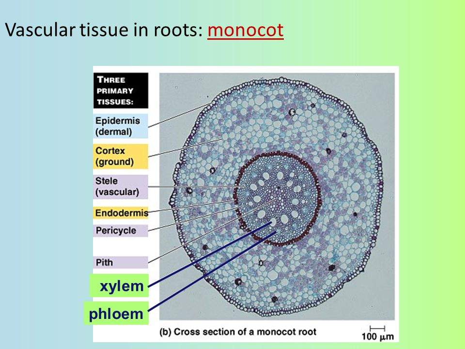 Vascular tissue in roots: monocot