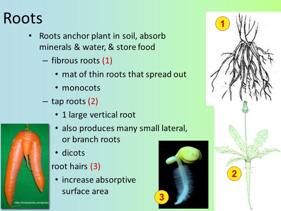 Roots 1. Roots anchor plant in soil, absorb minerals & water, & store food. fibrous roots (1) mat of thin roots that spread out.