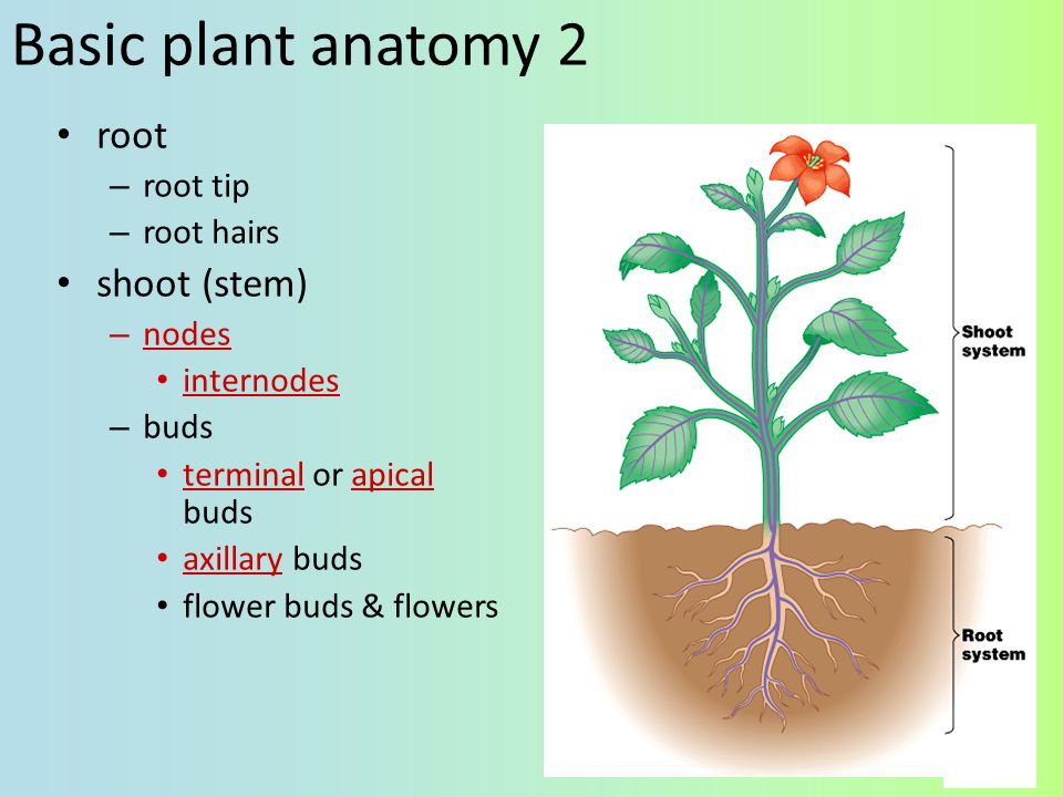 Basic plant anatomy 2 root shoot (stem) root tip root hairs nodes