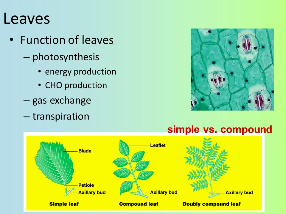 Leaves Function of leaves photosynthesis gas exchange transpiration