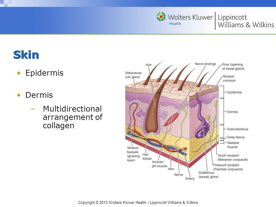 Skin Epidermis Dermis Multidirectional arrangement of collagen
