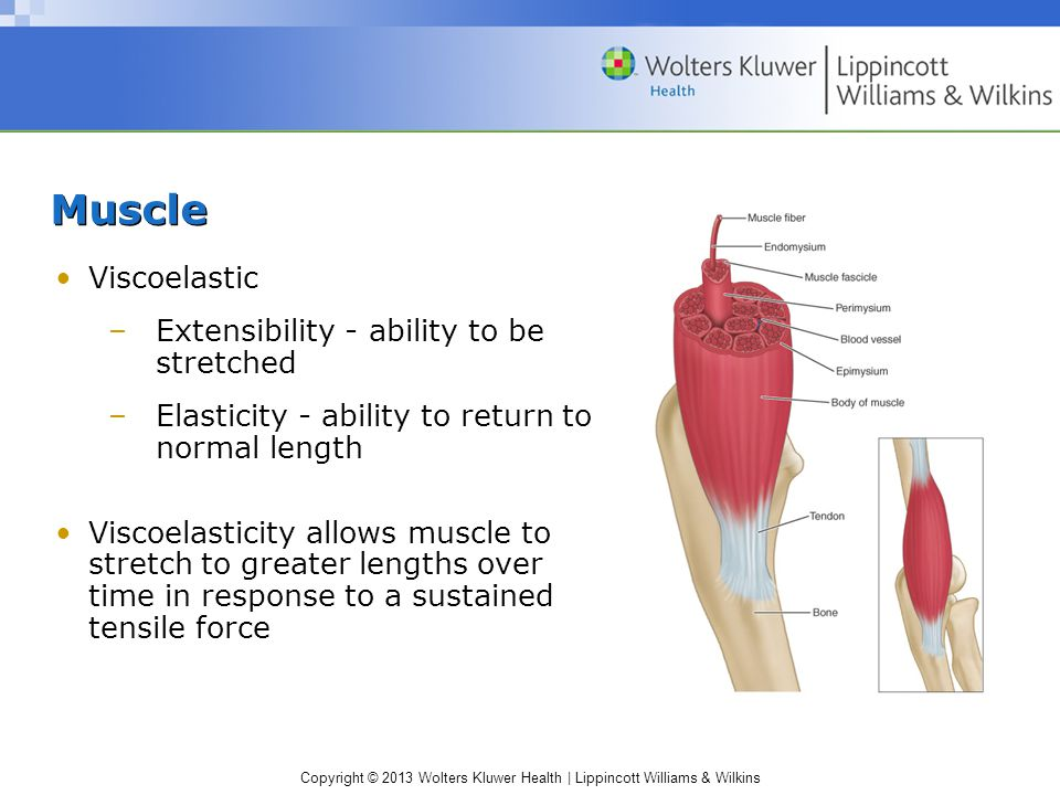 Muscle Viscoelastic Extensibility - ability to be stretched