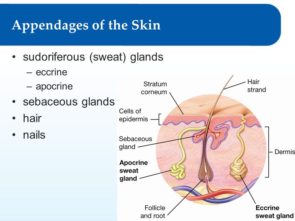 Appendages of the Skin sudoriferous (sweat) glands sebaceous glands
