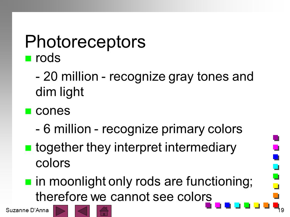 Photoreceptors rods - 20 million - recognize gray tones and dim light