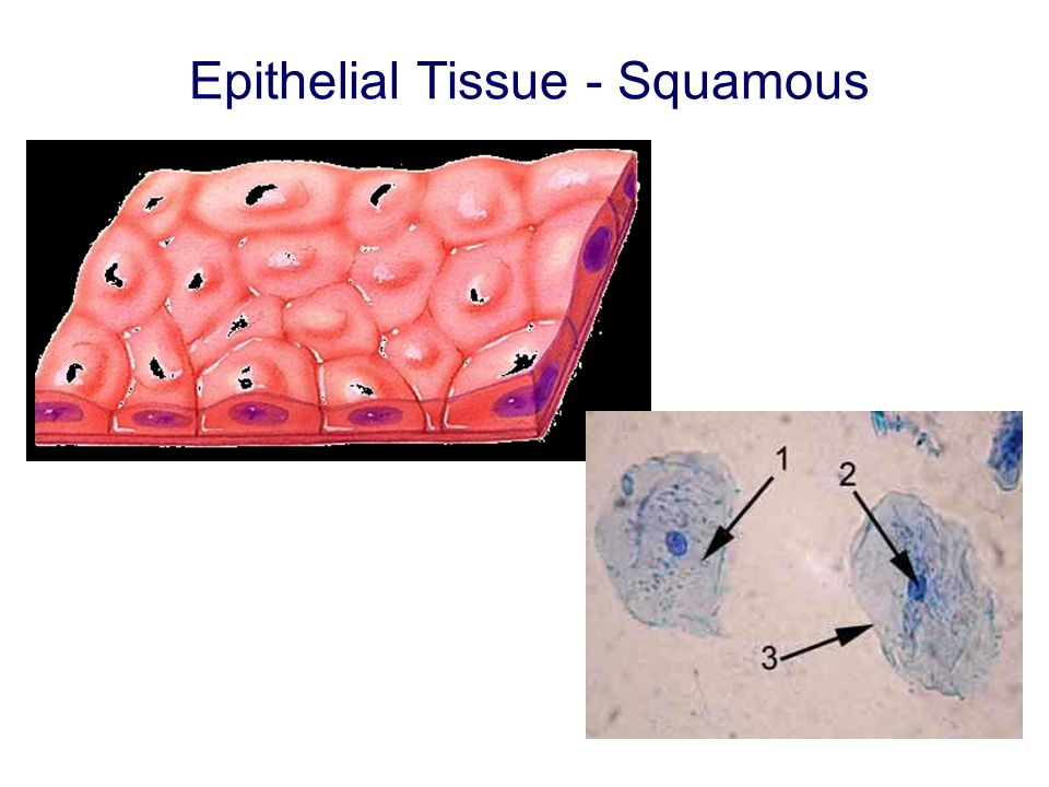 Epithelial Tissue - Squamous