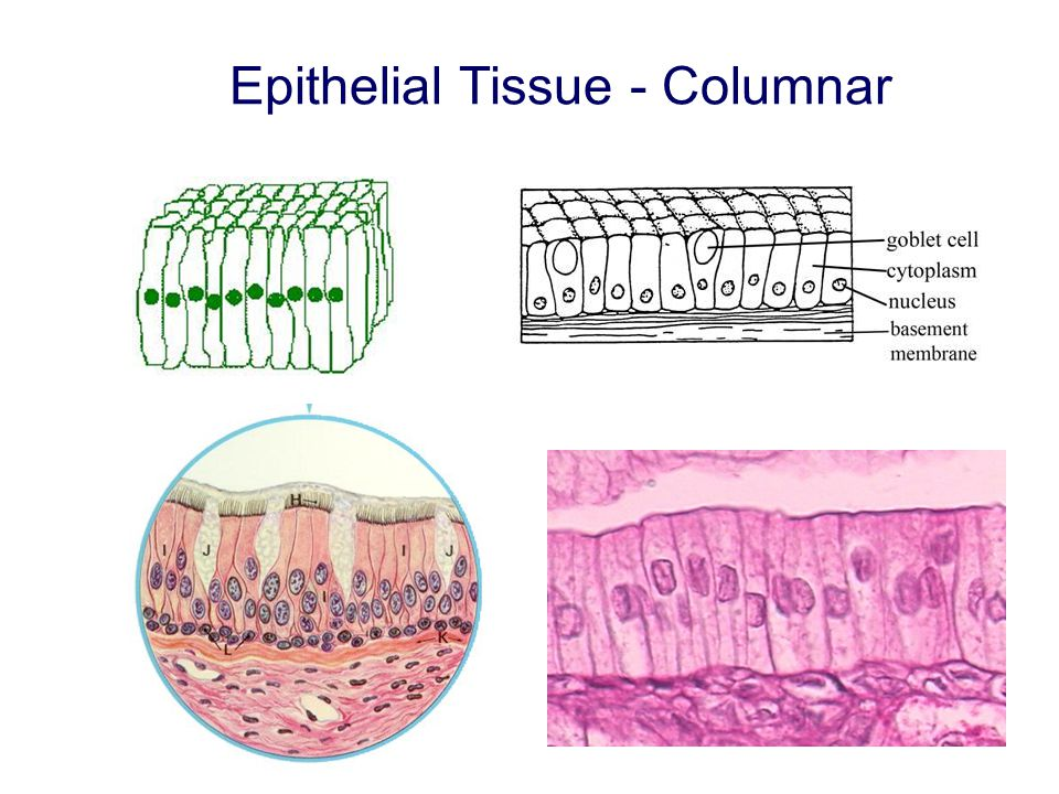 Epithelial Tissue - Columnar