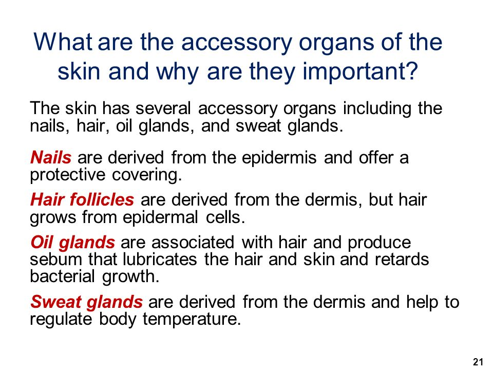 What are the accessory organs of the skin and why are they important