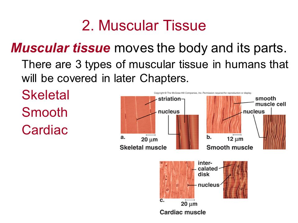 2. Muscular Tissue Muscular tissue moves the body and its parts.
