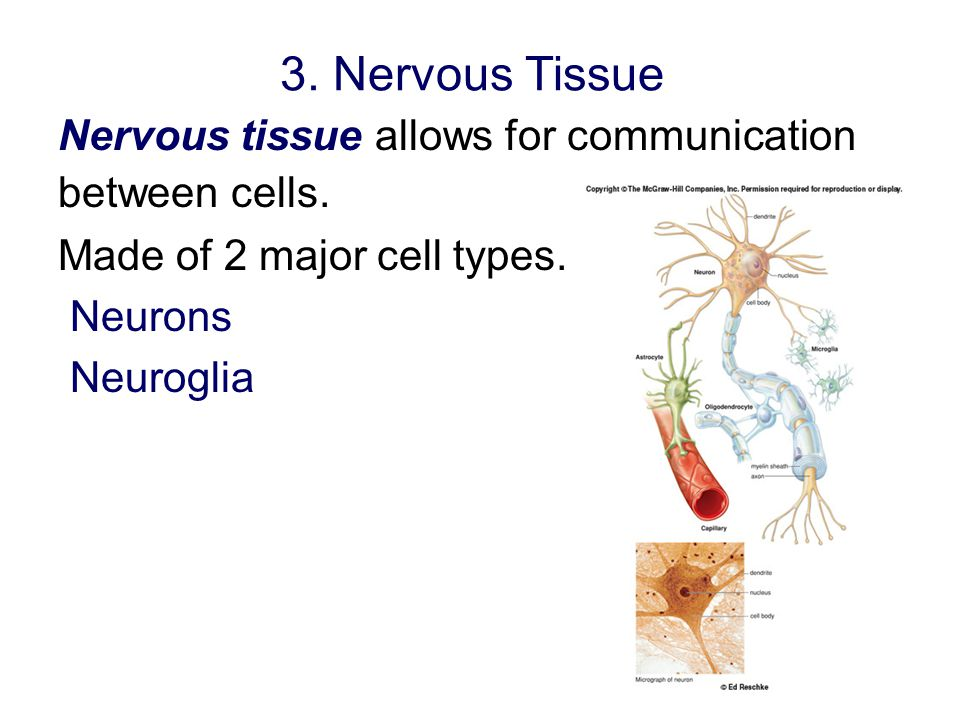 3. Nervous Tissue Nervous tissue allows for communication between cells. Made of 2 major cell types.
