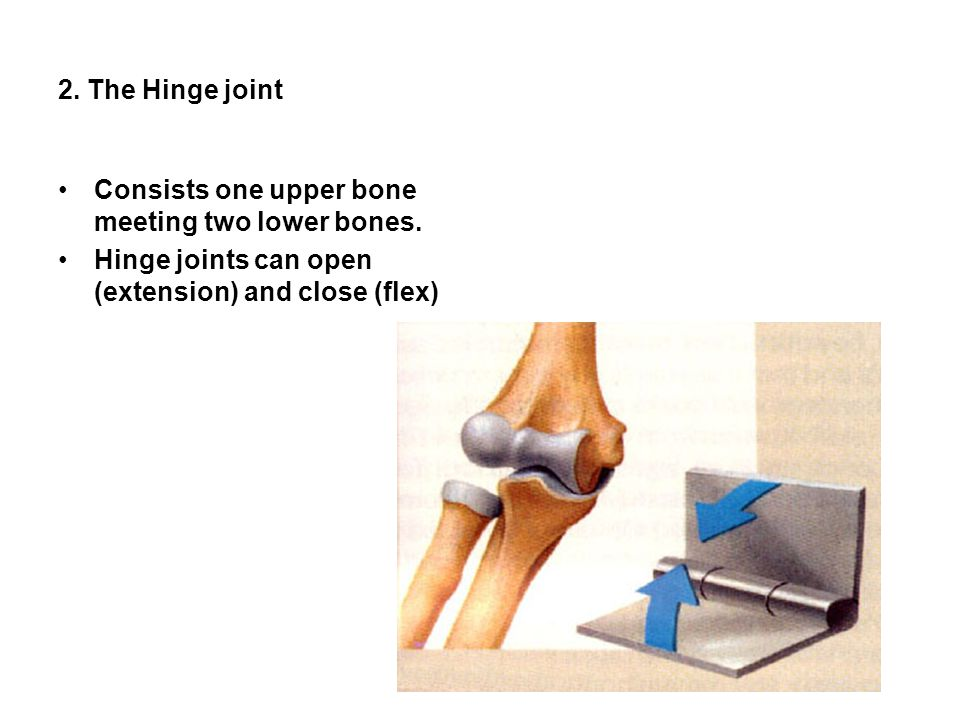 2. The Hinge joint Consists one upper bone meeting two lower bones.