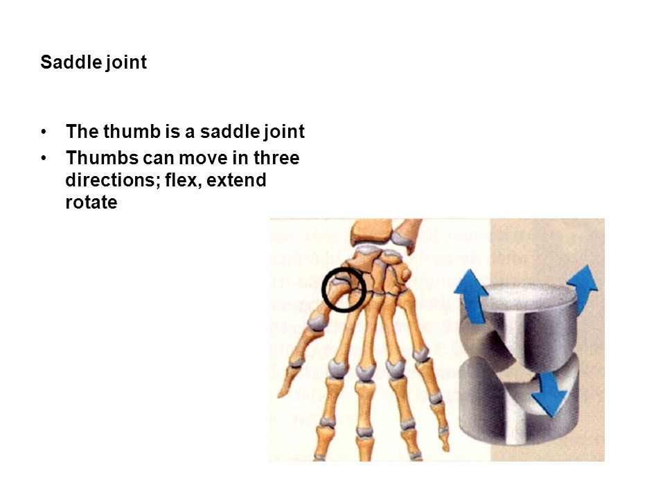 Saddle joint The thumb is a saddle joint Thumbs can move in three directions; flex, extend rotate
