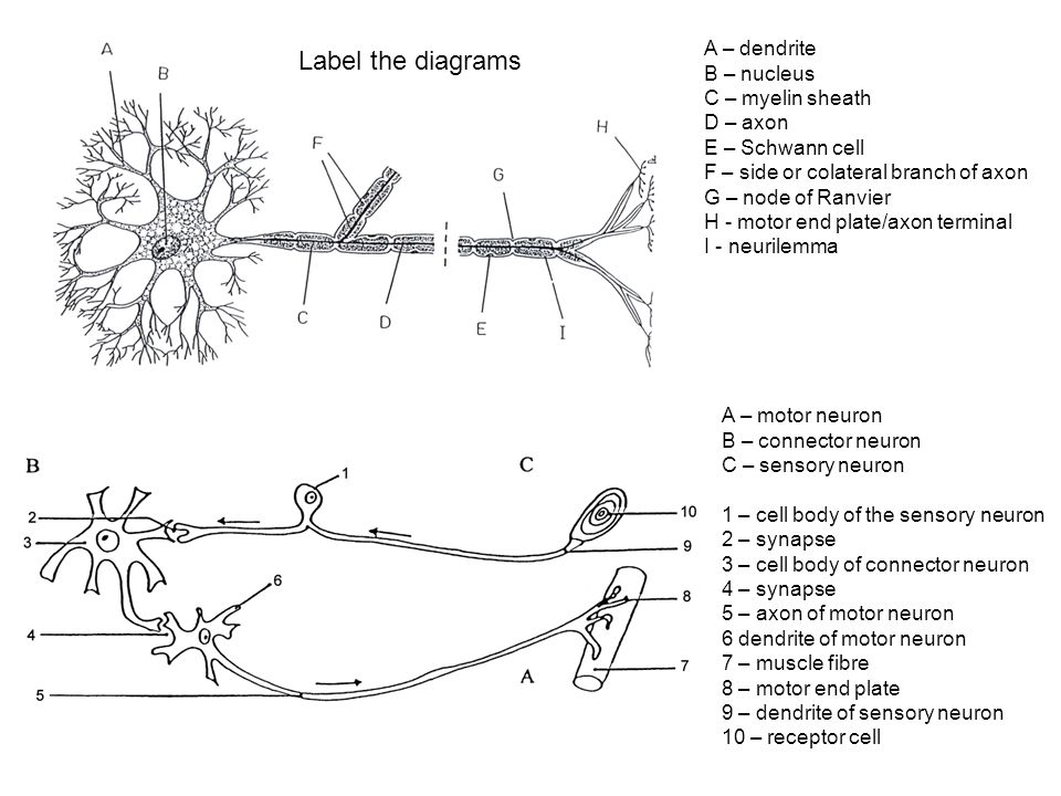 Label the diagrams A – dendrite B – nucleus C – myelin sheath D – axon