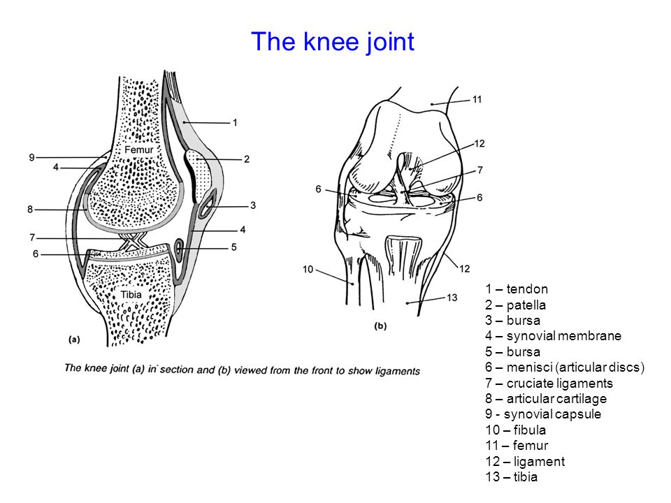 The knee joint 1 – tendon 2 – patella 3 – bursa 4 – synovial membrane