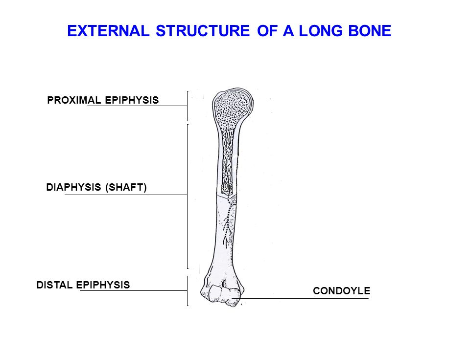 EXTERNAL STRUCTURE OF A LONG BONE