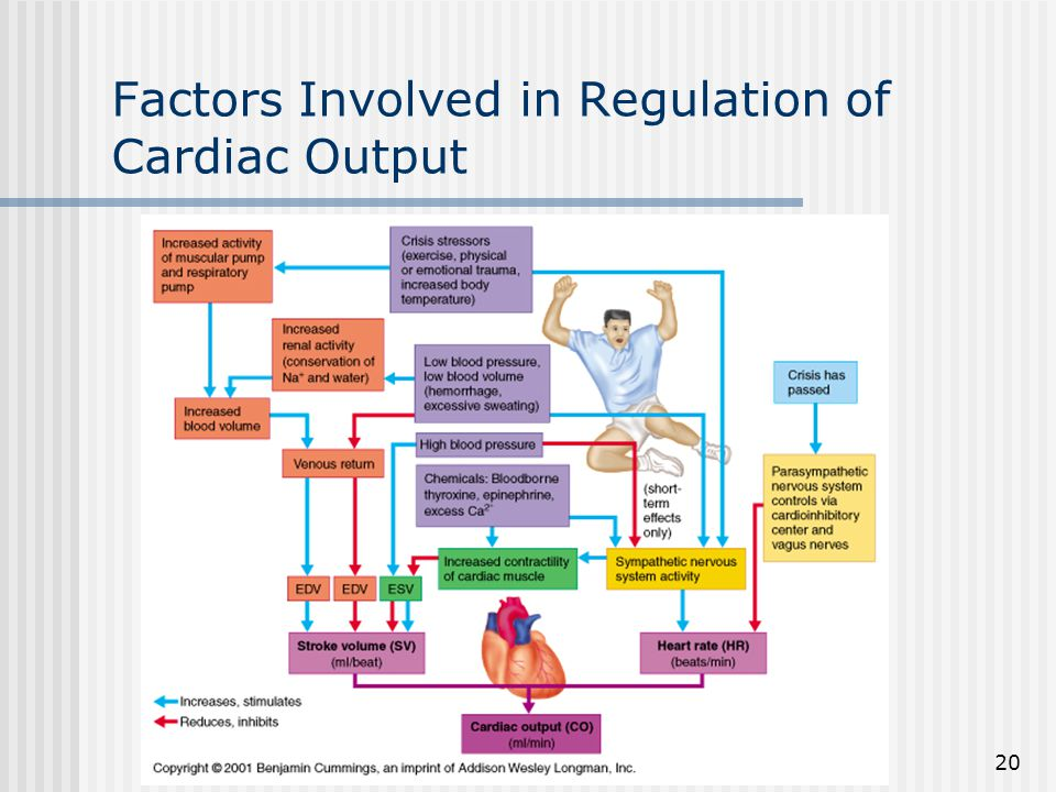 Factors Involved in Regulation of Cardiac Output