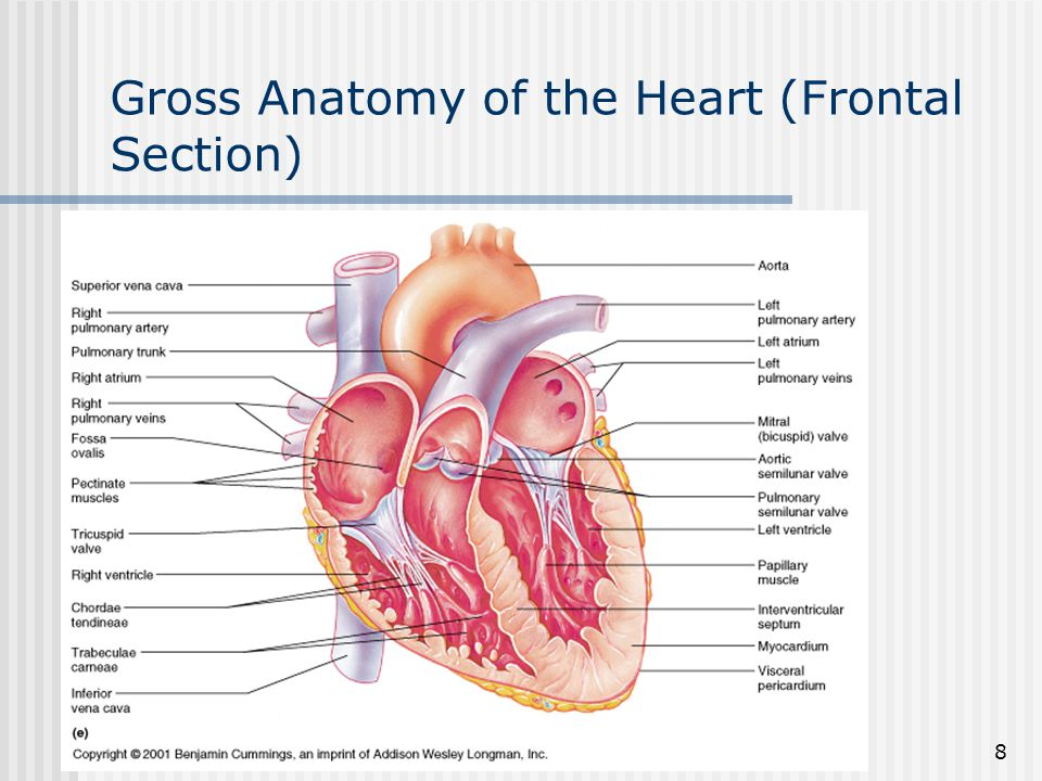 Gross Anatomy of the Heart (Frontal Section)