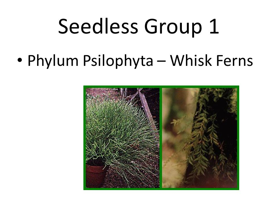 Seedless Group 1 Phylum Psilophyta – Whisk Ferns
