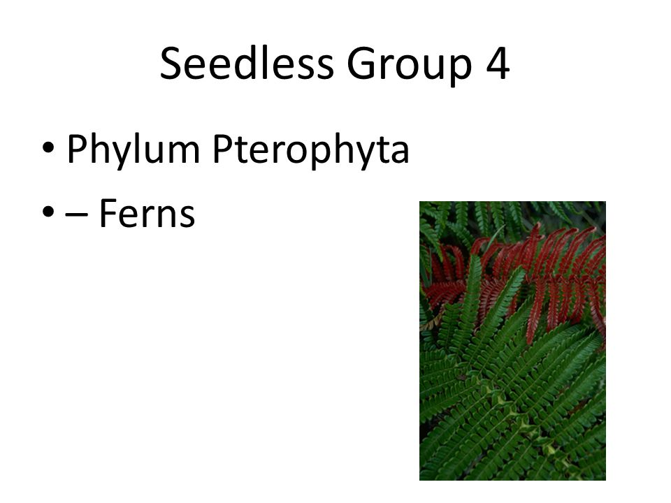 Seedless Group 4 Phylum Pterophyta – Ferns