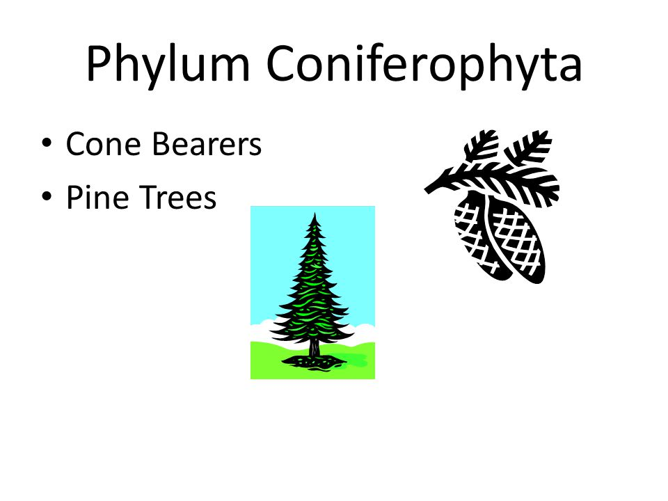 Phylum Coniferophyta Cone Bearers Pine Trees