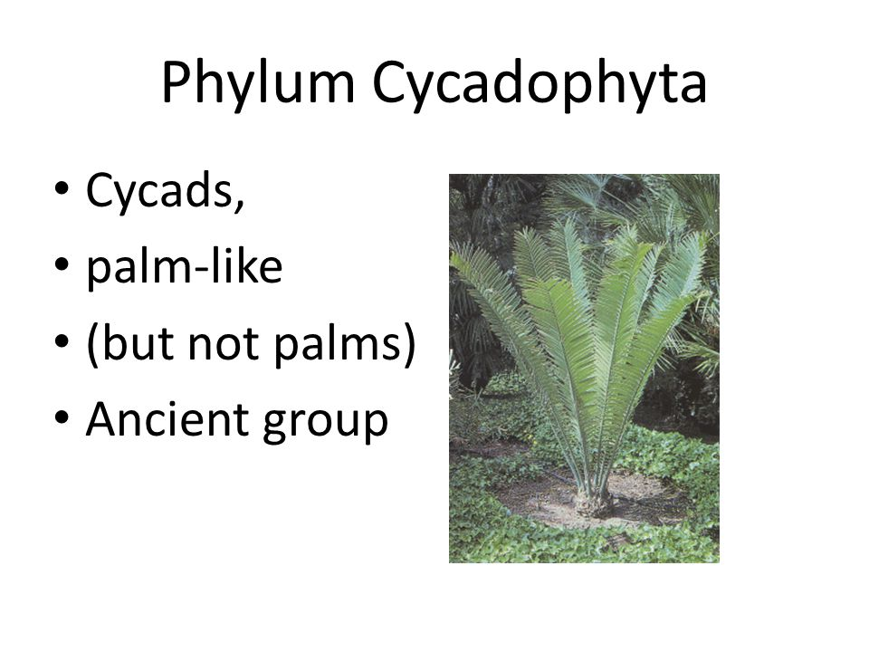 Phylum Cycadophyta Cycads, palm-like (but not palms) Ancient group