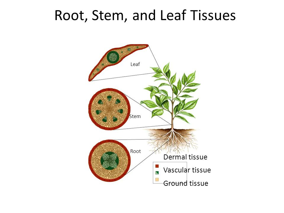 Root, Stem, and Leaf Tissues