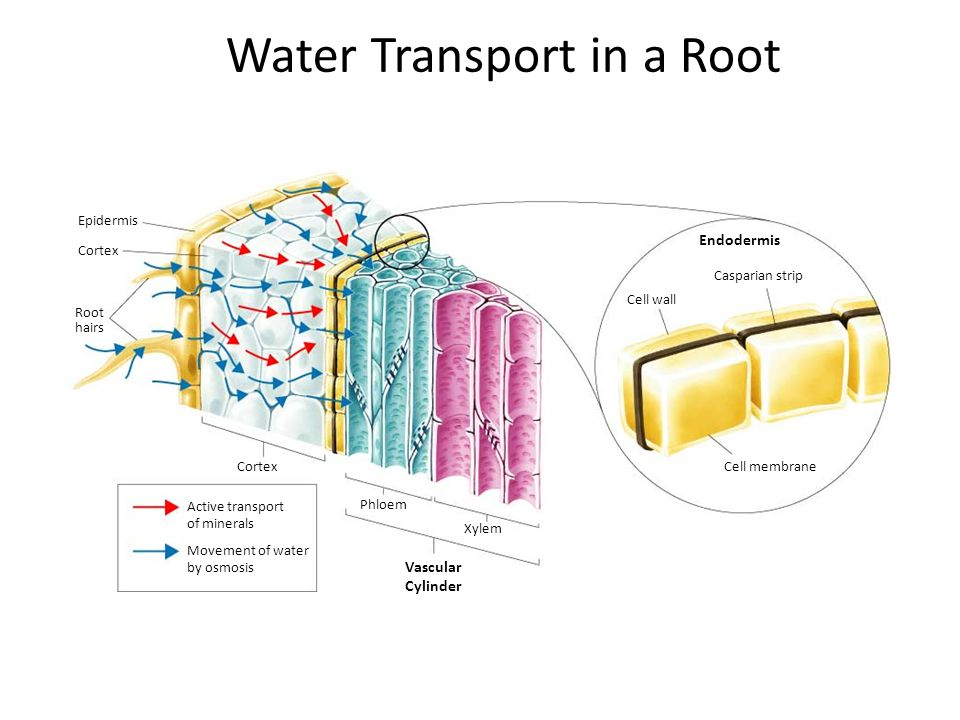 Water Transport in a Root