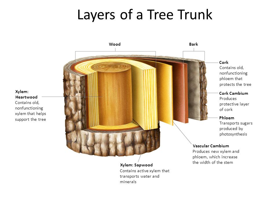 Layers of a Tree Trunk Section 23-3 Wood Bark Cork
