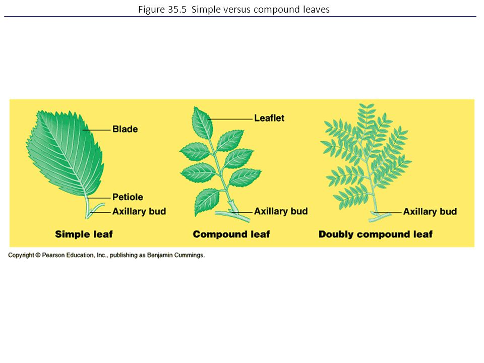 Figure 35.5 Simple versus compound leaves