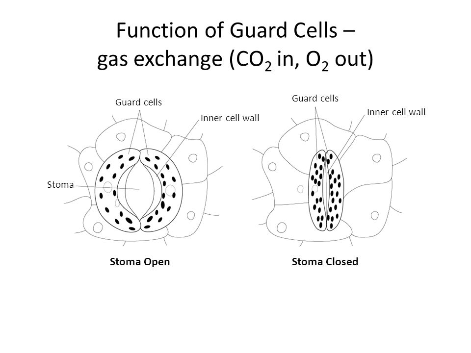 Function of Guard Cells – gas exchange (CO2 in, O2 out)